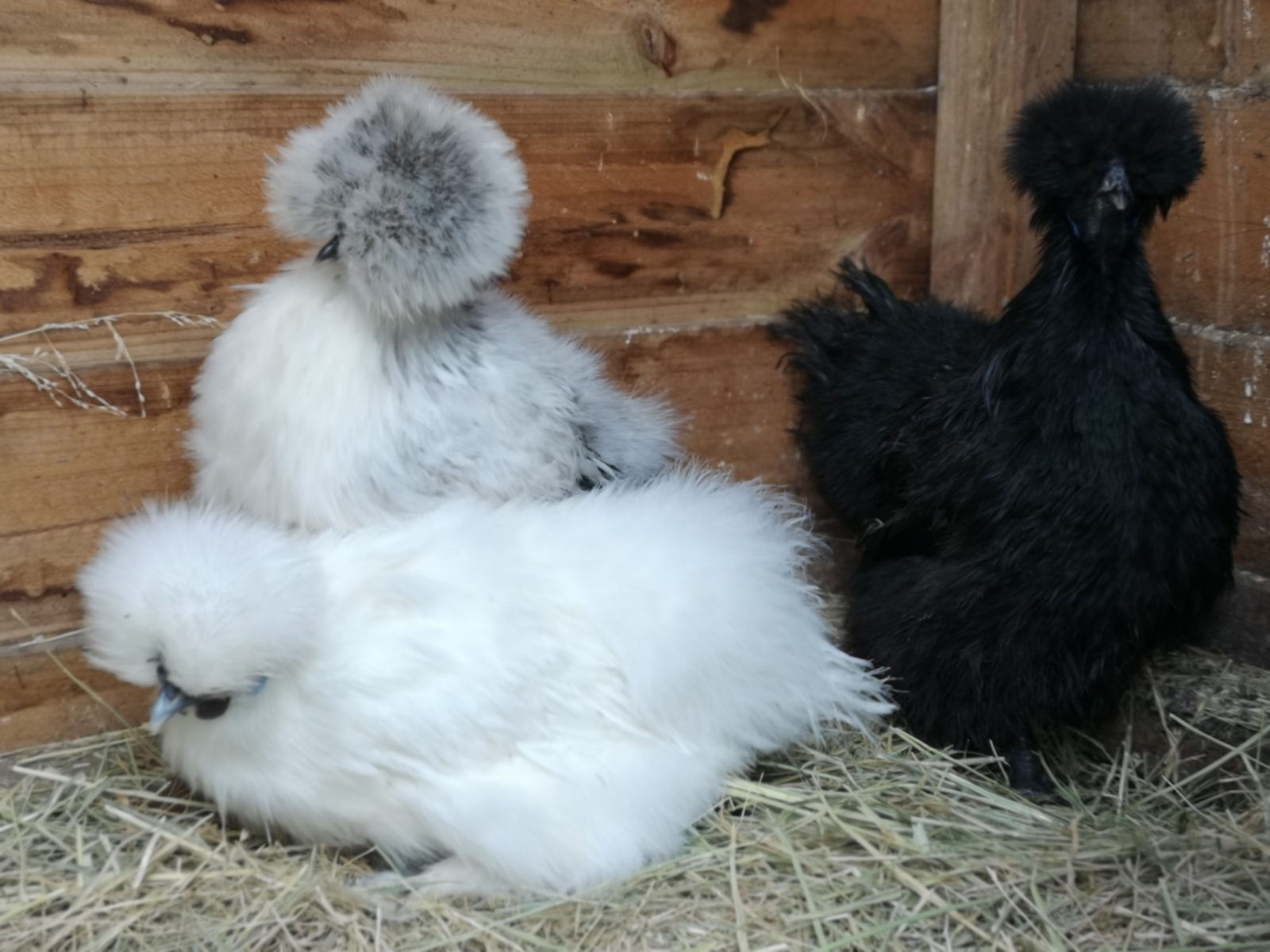 silkie-chickens-a-new-addition-to-the-cider-tonic-food-forest