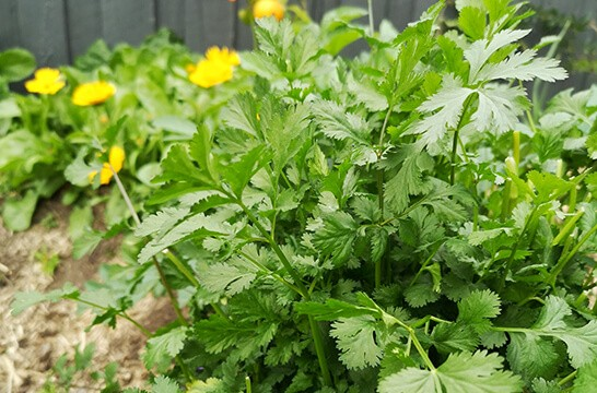 Coriander is booming in our permaculture food forest