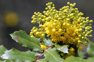 Oregon Grape- Cider Tonic Apothecary